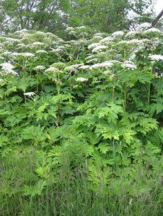 Cette plante est partout dans les regions du centre du québec.   Et ses effets sont tres tres tres moche !!!!!