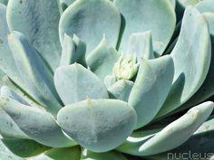 Echeveria secunda var. tolucensis Echeveria, Succulents, Plants, Collection, Succulent Plants, Planters, Plant, Planting