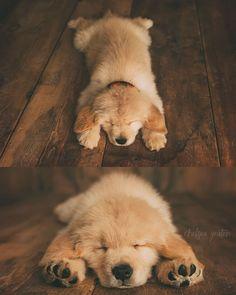 """8 Weeks Old. Goldpaws Chips Ahoy Matey """"BRIER"""". CKC Golden Retriever puppy. Ruff life! Puppy pictures. via @KaufmannsPuppy"""