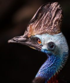 Southern Cassowary | Flickr - Photo Sharing!