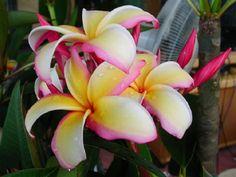 Name is Pu'ukaha ,Beautiful Hawaiian Plumeria