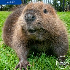 Peanut, an orphaned American beaver, was rescued in British Columbia weighing in at only 8 pounds! She was the lone survivor of a bear attack and initially went to a local wildlife shelter before being transferred to SeaWorld for long-term care. #365DaysOfRescue