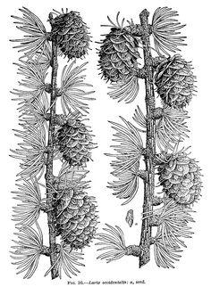 Larix occidentalis, Western larch, conifers,