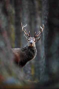 Veado-vermelho se destacando na paisagem da floresta de pinheiros ganhou na categoria de retrato animal.