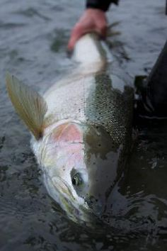 Wild steelhead hooked on a swung fly. Can't beat it! (Photo by Rick Willauer)