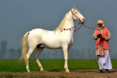 Marwan Horses - nukra stallion. Nukra is the name given in India and Pakistan to dominant white horses used for ceremonies and festivals