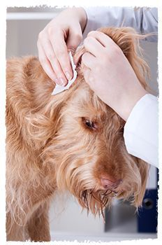 Ear problems are one of the top routine reasons why dogs visit the veterinarian, and many dogs suffer with painful and unpleasant ear conditions for years on end before a true long-standing cure is found.  A holistic approach to the problem considers the environment in which the dog lives, what he eats and his lifestyle.