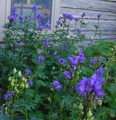 aconitum carmichaelii | fall blooming, monkshood found at JOYSPRING.com