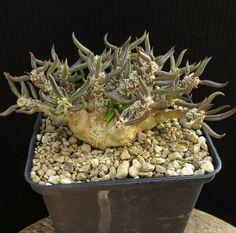 Euphorbia+cylindrifolia+ssp.tubifera,Caudex,Ariocarpus,Bulb+