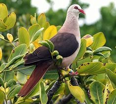 The Pink Pigeon was once widely distributed across Mauritius. The main factors in the decline of the Pink Pigeon are the destruction of native forest, hunting and the introduction of predators such as rats, mongoose, monkeys and feral cats.
