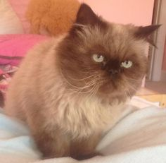 PeeWee is an adoptable Himalayan, Persian Cat in Ashburn, VA PeeWee is a neutered male Himalayan who was brought into a MD shelter with two other cats when  ... ...Read more about me on @petfinder.com