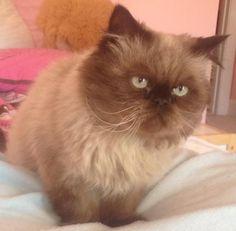Himalayan cat rescue in virginia