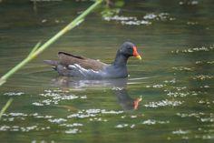 Common Moorhen #bird #animal #moorhen #nature #wild #wildlife #Kranjimarsh #wetland #wildlifephotography #naturephotography