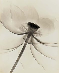 poboh:  Lotus, Wide Open, 1930's, Dr. Dain L. Tasker. (1872 - 1962)