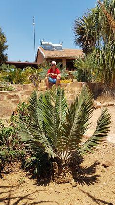 Sago Palm, Hardy Plants, Planting Succulents, Tropical, Leaves, Garden, Garten, Gardens, Tuin