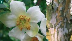 Acer Palmatum Dissectum Tamukeyama Tamukeyama Laceleaf