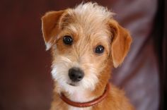 Gracie is a Jack Russell and Poodle mix