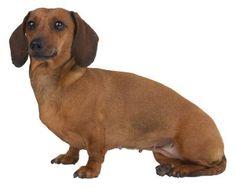 Quais cães possuem a íris dourada? | eHow Brasil
