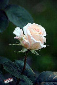Hybrid Tea Rose 'Enduring Love'