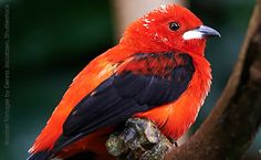 Image from http://www.abcbirds.org/picts/bird_of_the_week/large%20pics/Brazilian_Tanager_DennisJacobsen_SS.jpg.