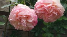 Mary rose ❤