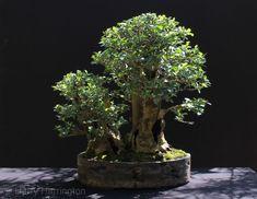 privet bonsai