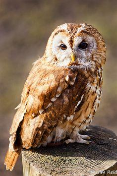 Tawny owl (Waldkauz) by Jim Reid Owl Photos, Owl Pictures, Owl Bird, Pet Birds, Owl Symbolism, Strix Aluco, Tawny Owl, Owl Eyes, Beautiful Owl