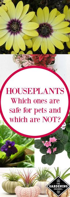 Which houseplants are safe for pets?  Read this complete list of plants to keep away from your pets and which ones are safe to grow around animals.