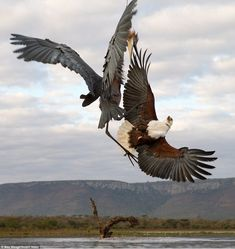 Goliath heron attacks an African fish eagle