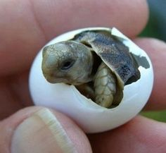 Baby turtle hatching.