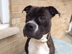 #ADOPTABLE #CHICAGO #IL FEMALE  pitsforpatroits@gmail.com https://m.facebook.com/photo.php?fbid=646385128749287&id=180598075327997&set=a.577691435618657.1073741845.180598075327997