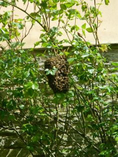 Bee swarm! Honey makers at the ready at Croft Castle. Via twitter, 15 May