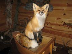 Beautiful Sitting Red Fox Animal Taxidermy Mount Art Wildlife -No Reserve-