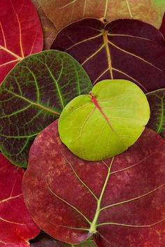 Cudjoe Key, Florida - An arrangement of showy Sea Grape (Coccoloba uvifera) leaves, South Florida's fall colors. Photo © copyright by Paul Marcellini. Patterns In Nature, Textures Patterns, Foto Macro, Leaf Art, Botanical Illustration, Belle Photo, Autumn Leaves, Mother Nature, Plant Leaves