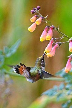 """❥‿↗⁀♥ simply-beautiful-world flowersgardenlove: """" Hummingbird Beautiful gorgeous pretty flowers """" Pretty Birds, Love Birds, Beautiful Birds, Animals Beautiful, Cute Animals, Beautiful Gorgeous, Pretty Flowers, Simply Beautiful, Tier Fotos"""