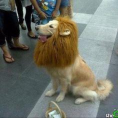 Golden Lion retriever!