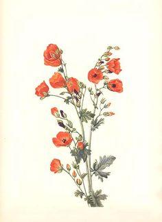398 ~ SCARLET GLOBE-MALLOW, 1925 Mary Walcott Art Print | eBay
