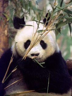 https://flic.kr/p/9UKRx7 | CHINA-PANDA/ | 【pic from daylife.com】 Ming Ming chews bamboo shoots at the zoo in London, in this file photo taken October 20, 1994. The world's oldest panda, has died of old age, Chinese state media reported Tuesday. She was 34. The China Panda Protection Centre in Sichuan said that Ming Ming died on May 7. Wild pandas normally only live for 15 years and those in captivity live for 22 years on average, the report said. Picture taken October 20, 1994…