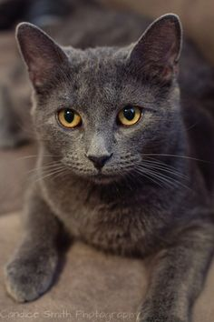 Grayson by CandiceSmithPhoto on DeviantArt – Cats Cute Cats And Kittens, I Love Cats, Cool Cats, Kittens Cutest, Blue Cats, Grey Cats, White Cats, Orange Cats, Chartreux Cat
