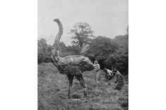 Moa  As moas são agrupadas em nove espécies divididas em seis gêneros. As maiores (Dinornis robustuse Dinornis novaezelandiae) deixariam um avestruz parecendo um pequeno passarinho. Elas podiam chegar a 3,6 metros de altura e pesar cerca de 230 quilos. As aves entraram em extinção por volta do ano 1400 devido à caça intensiva promovida pelos Maoris e ao distúrbio provocado pela agricultura.