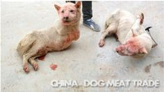 Dogs have their legs cut off before being boiled alive in CHINA! Act Now!