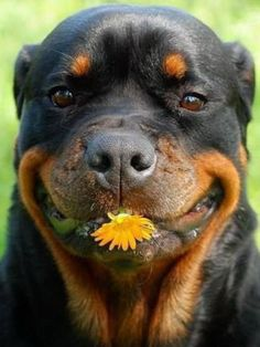 The many things we respect about the Loving Rottweiler Dogs - Rottweiler - Hunde Rottweiler Love, Rottweiler Puppies, Rottweiler Pictures, Rottweiler Facts, Cute Puppies, Cute Dogs, Dogs And Puppies, Doggies, Animals And Pets