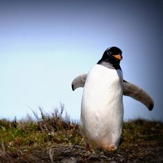wild gentoo penguin, Falkland Islands (by Dene' Miles)