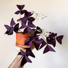 Oxalis triangularis aka False Shamrock in bloom