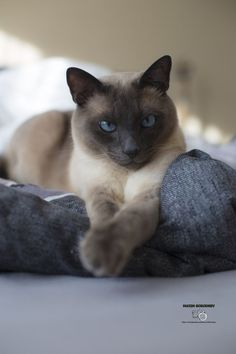raising a cat should be pretty easy after reading the advice listed here. ** Check this useful article by going to the link at the image. Pretty Cats, Beautiful Cats, Animals Beautiful, Cute Animals, Pretty Kitty, I Love Cats, Crazy Cats, Cute Cats, Puppies And Kitties