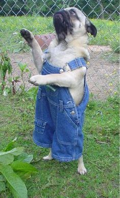 Pug in overalls