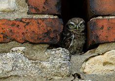 {little owl fledgling}