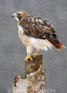 Red-tailed hawk in snowfall - by Steve Courson