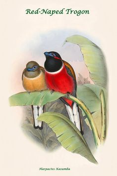 Red-Naped Trogon - Harpactes Kasumba, by John Gould