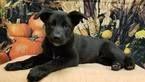 German Shepherd Dog Dog For Adoption in Modesto, CA, USA